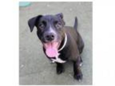 Adopt JET a Pit Bull Terrier, German Shorthaired Pointer