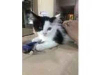 Adopt Chase a White Domestic Longhair / Domestic Shorthair / Mixed cat in Cedar