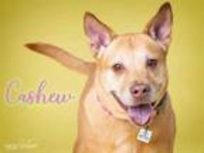 Adopt CASHEW a Tan/Yellow/Fawn Labrador Retriever / Mixed dog in Upper Marlboro
