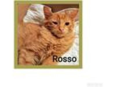 Adopt Rosso a Orange or Red Domestic Longhair (long coat) cat in Hicksville