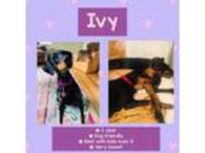 Adopt Ivy a Black - with Tan, Yellow or Fawn Doberman Pinscher / Mixed dog in