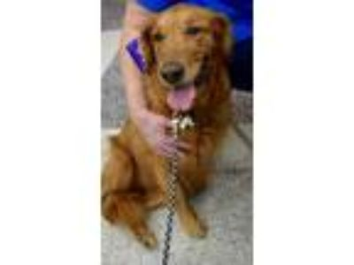 Adopt Dixie #0760 a Golden Retriever / Mixed dog in Fort Worth, TX (25341551)