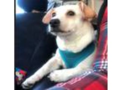 Adopt ARCHIE a White Terrier (Unknown Type, Small) / Mixed dog in San Juan