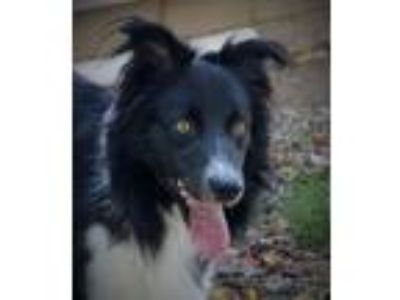 "Adopt MacCaden""Adoption Pending"" a Border Collie"