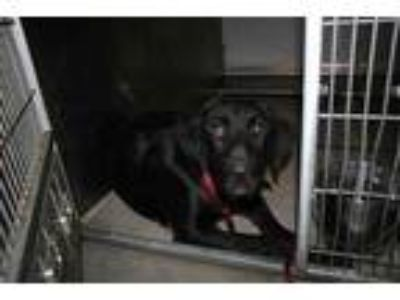 Adopt a Black - with White Labrador Retriever / Airedale Terrier / Mixed dog in