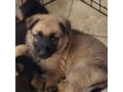 Adopt Puppys a Belgian Shepherd / Malinois, German Shepherd Dog