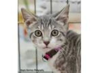 Adopt Miss Potter a Gray, Blue or Silver Tabby Domestic Shorthair (short coat)