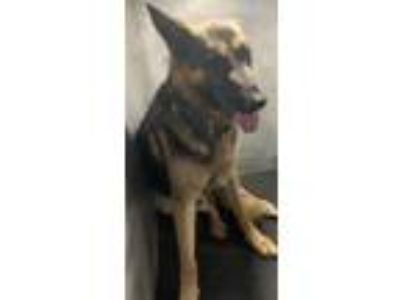 Adopt KAISER a German Shepherd Dog