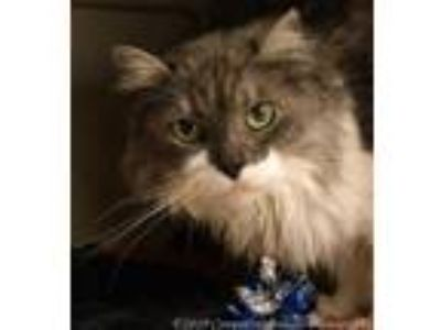 Adopt Queen Isabella a Gray or Blue Domestic Longhair / Domestic Shorthair /