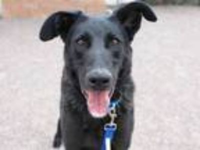 Adopt BEN a German Shepherd Dog, Labrador Retriever