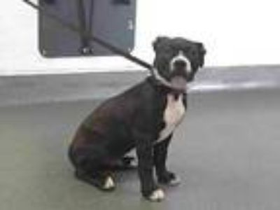 Adopt 19-22783 a Pit Bull Terrier