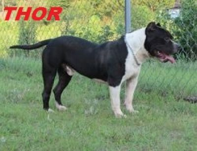 PURPLE RIBON JIM'S FSK THOR ADULT MALE NEEDS NEW HOME DUE TO OWNER'S DECLINING HEALTH