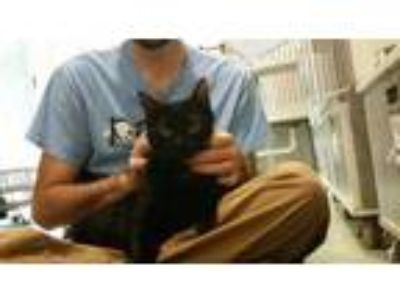 Adopt Montana a All Black Domestic Shorthair / Domestic Shorthair / Mixed cat in