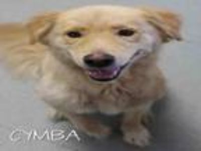 Adopt CYMBA a Golden Retriever, Mixed Breed
