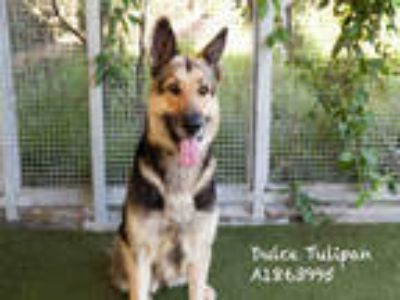 Adopt DULCE TULIPAN a Tan/Yellow/Fawn - with Black German Shepherd Dog / Mixed