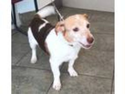 Adopt ? a Brown/Chocolate - with White Beagle / Mixed dog in San Antonio