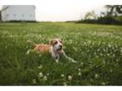 Adopt Reese a White - with Red, Golden, Orange or Chestnut Pit Bull Terrier /