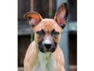 Adopt Koa a Red/Golden/Orange/Chestnut German Shepherd Dog / American Pit Bull