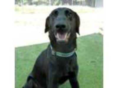 Adopt Mickey a Black Labrador Retriever / Mixed dog in Rockville, MD (25329867)