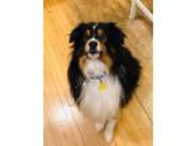 Adopt Buddy a Tricolor (Tan/Brown & Black & White) Australian Shepherd / Mixed