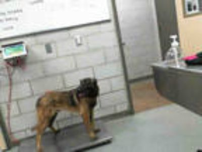 Adopt STRAY 1067693 a Red/Golden/Orange/Chestnut - with Black Belgian Malinois /