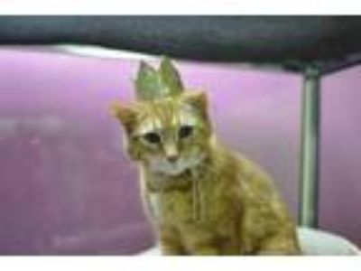 Adopt Oskar a Orange or Red Domestic Shorthair / Domestic Shorthair / Mixed cat