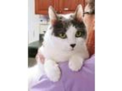 Adopt Blue a White (Mostly) Domestic Shorthair / Mixed cat in Sterling
