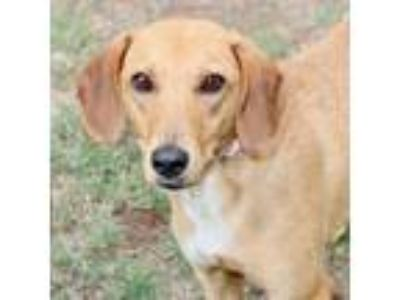 Adopt Red Velvet a Black Mouth Cur, Mixed Breed