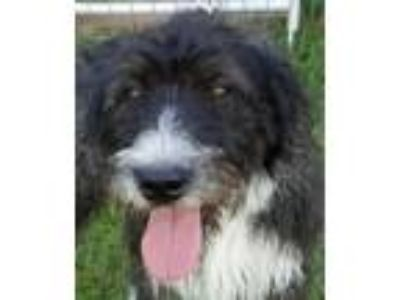 Adopt Biscuits Doodle a German Wirehaired Pointer, Standard Poodle