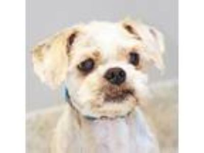 Adopt Squish a Tan/Yellow/Fawn Mixed Breed (Small) / Mixed dog in Lansing