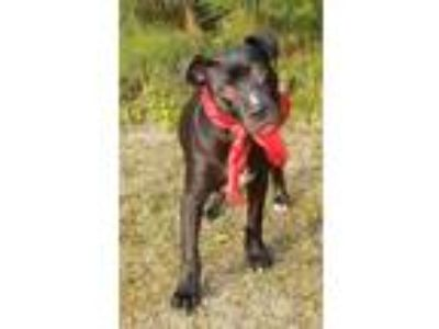 Adopt Peep a Black - with White Labrador Retriever / American Pit Bull Terrier /