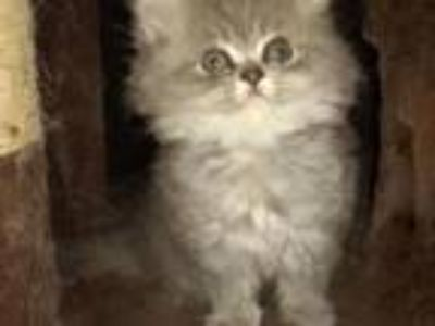 Sweet CFA Registered Blue Persian Kitten