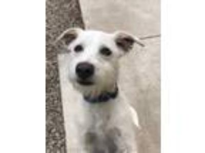 Adopt Angel a White Terrier (Unknown Type, Small) / Mixed dog in Buellton