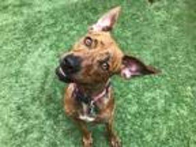Adopt Eddie a Brindle Coonhound (Unknown Type) / Hound (Unknown Type) dog in
