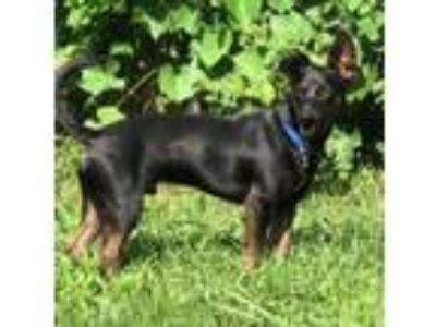 Adopt Ernesto a Feist, Beagle