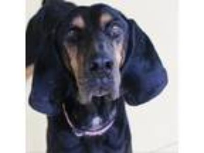 Adopt Charlie a Black Hound (Unknown Type) dog in Lynchburg, VA (23767567)