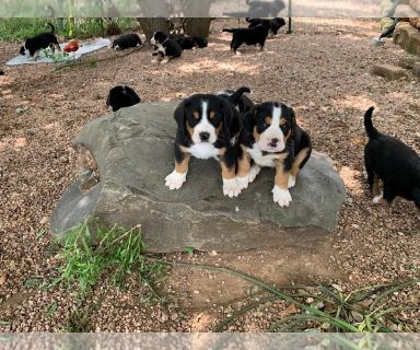 Greater Swiss Mountain Dog PUPPY FOR SALE ADN-130039 - March 22 2019