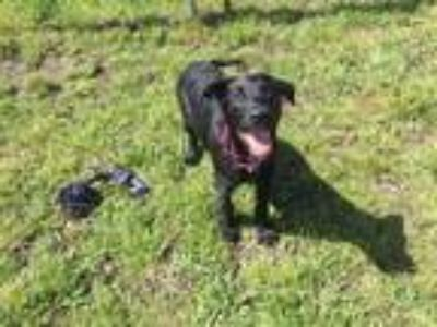 Adopt SID a Black - with White Labrador Retriever / Mixed dog in McKinleyville