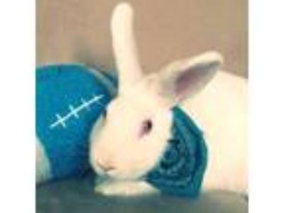 Adopt George a White New Zealand / Mixed (short coat) rabbit in Los Angeles