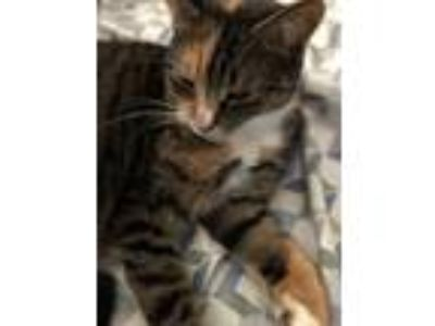Adopt Bella a Tan or Fawn (Mostly) American Shorthair / Mixed cat in Jamaica