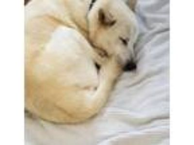 Adopt Barnaby a White - with Tan, Yellow or Fawn Shepherd (Unknown Type) / Mixed