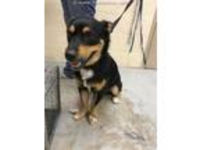 Adopt a Black - with Tan, Yellow or Fawn Collie / Rottweiler / Mixed dog in