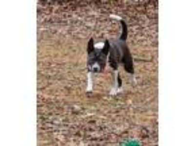 Adopt Michelle a American Staffordshire Terrier, Feist