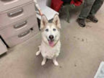 Adopt *ASPEN a Gray/Silver/Salt & Pepper - with White Husky / Mixed dog in