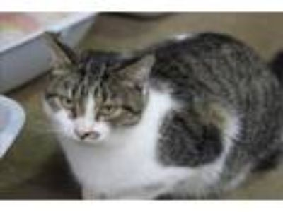 Adopt Apuloo a Domestic Short Hair