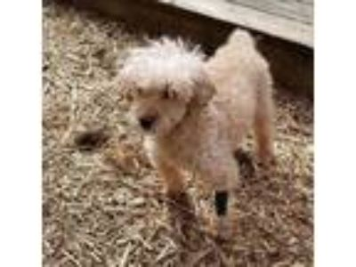 Adopt Faith a Brindle Poodle (Toy or Tea Cup) / Mixed dog in Marietta