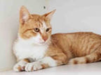Adopt MONET a Orange or Red Tabby Domestic Shorthair / Mixed (short coat) cat in