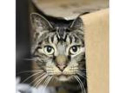 Adopt Dexter a Gray or Blue Domestic Shorthair cat in Starkville, MS (23692988)