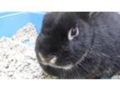 Adopt Honey Bunny a Dwarf / Mixed rabbit in Homer Glen, IL (25511480)