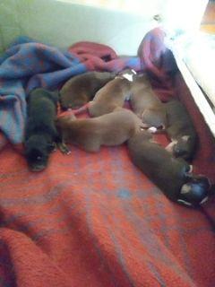Australian Shepherd PUPPY FOR SALE ADN-99486 - Austrailian shepard puppys